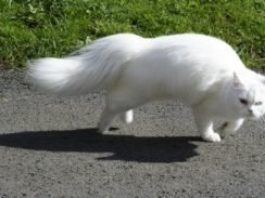 cat, domestic cat, european shorthair